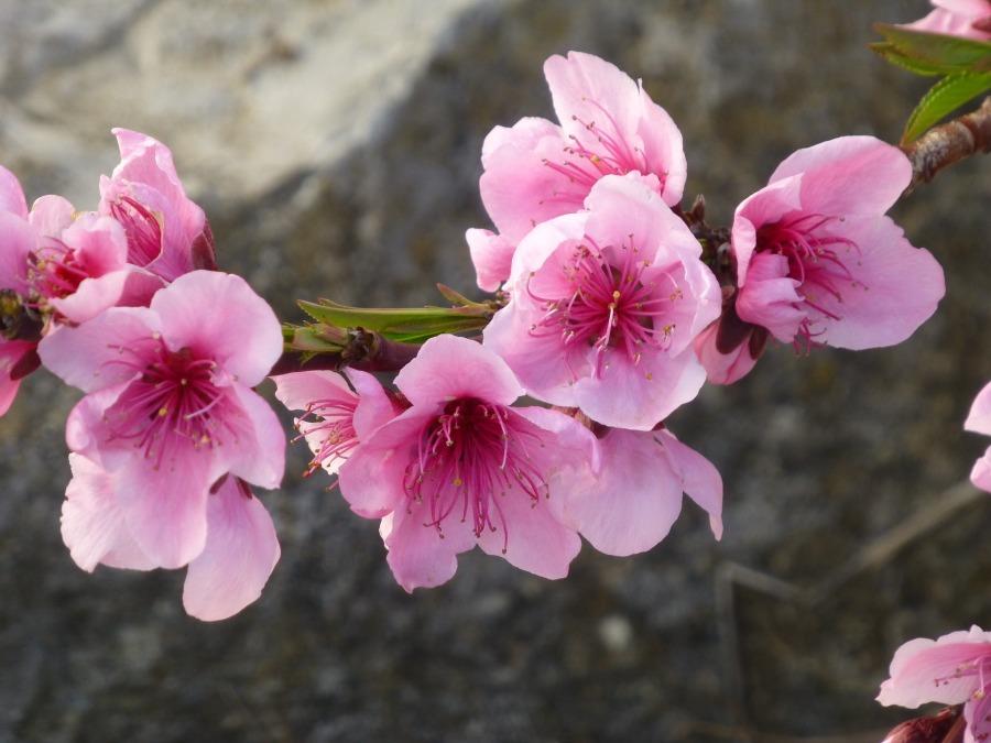 almond-blossom-2100049_1920